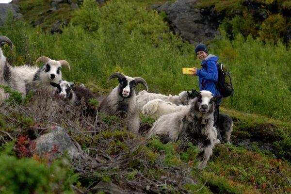 Økologisk saueoppdrett i Gratangen Fjord, Norge